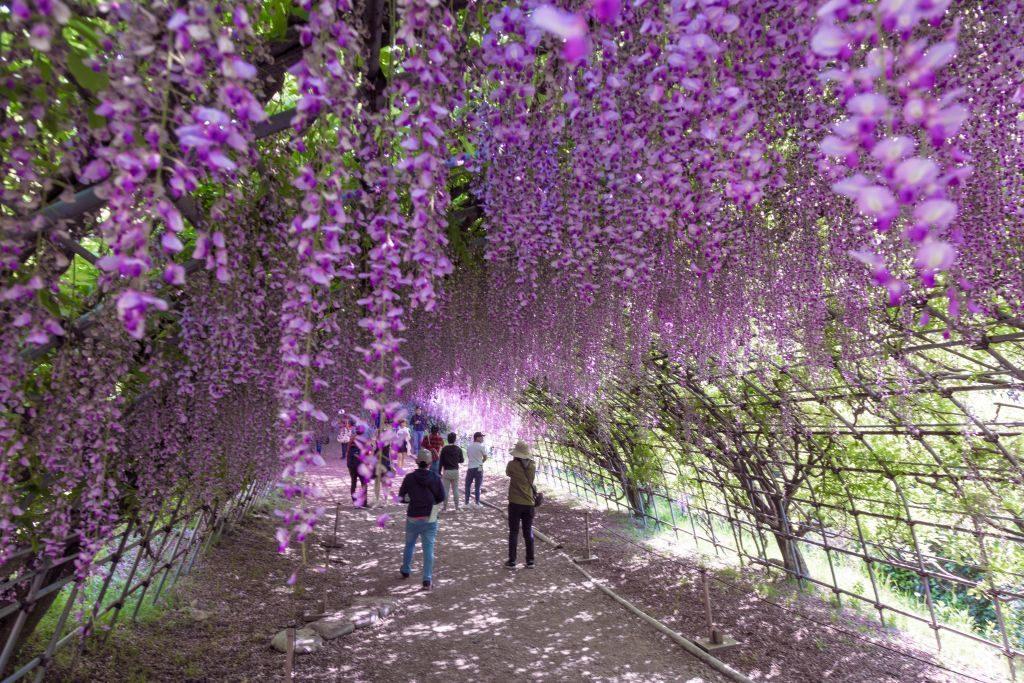 Dois túneis de glicínias, com cem metros de comprimento, fazem parte das atrações do Jardim das Glicínias de Kawachi Fujien