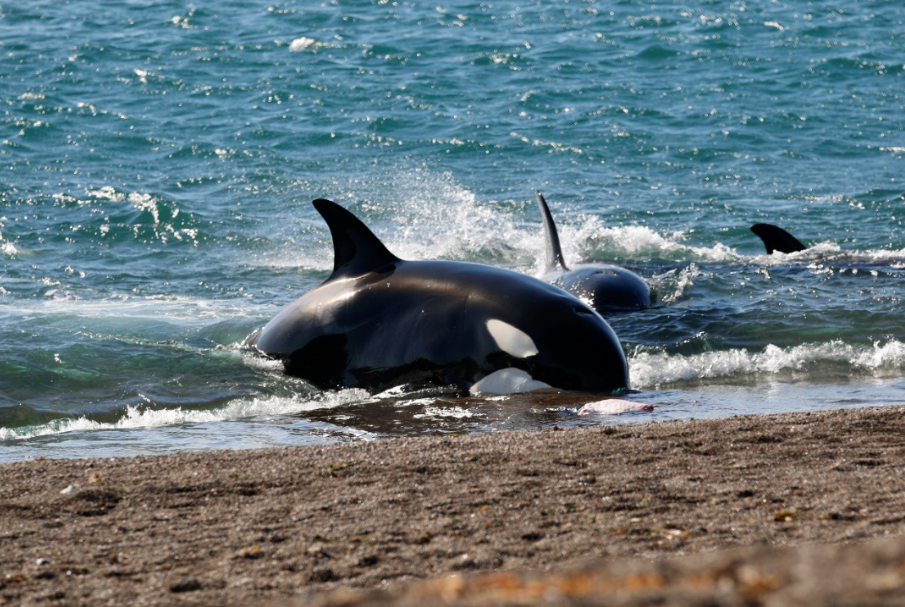 Temporada de Orcas na Patagônia Argentina: espetáculo único no mundo